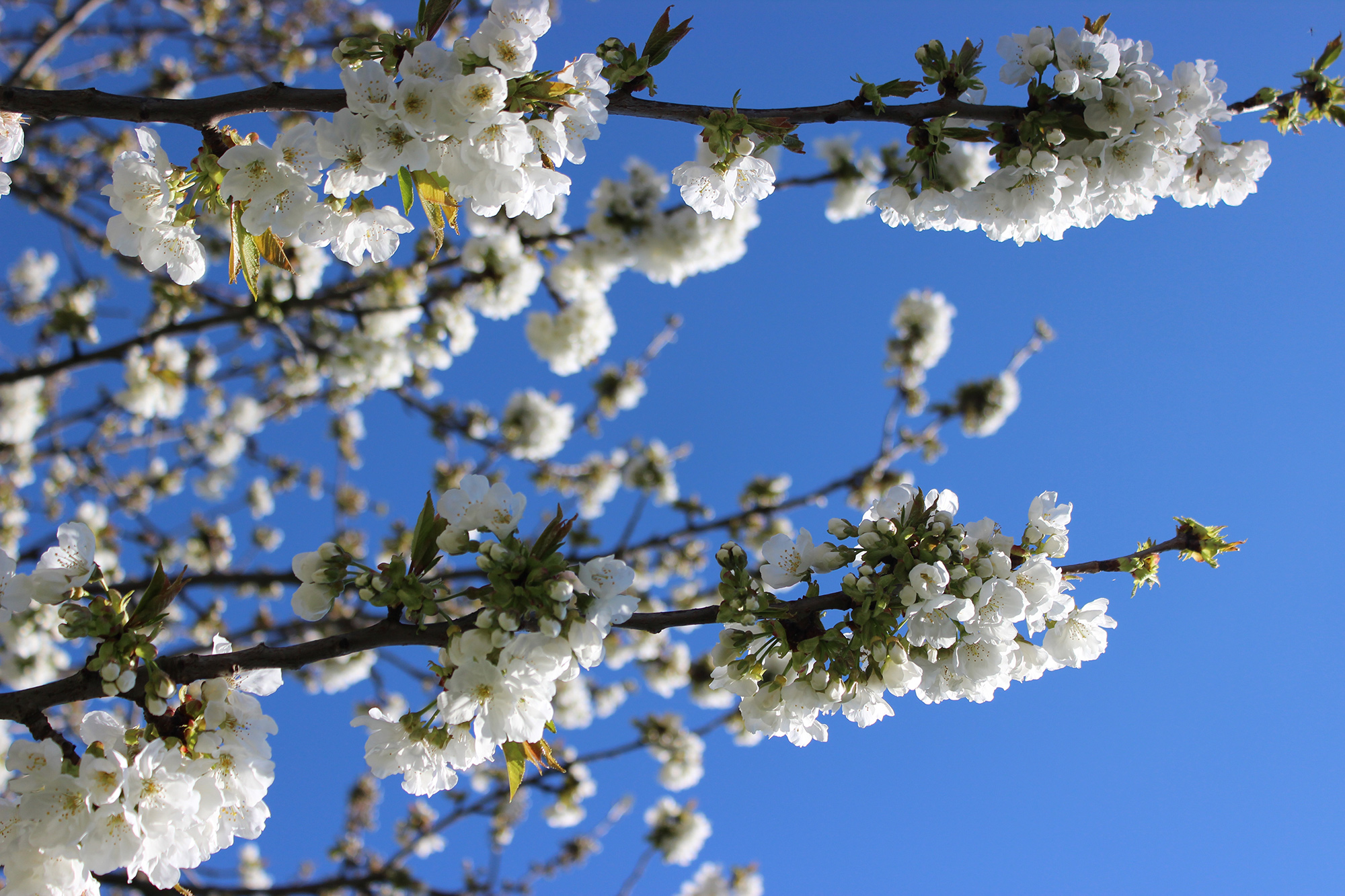 Froufrouandco-cerisier-printemps